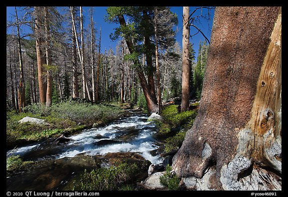Stream in forest, Lewis Creek. Yosemite National Park (color)