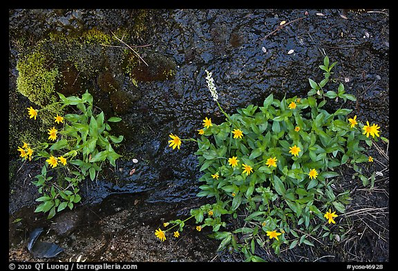 Yellow wildflowers. Yosemite National Park (color)