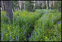 Lush wildflowers, Cathedral Fork. Yosemite National Park, California, USA. (color)