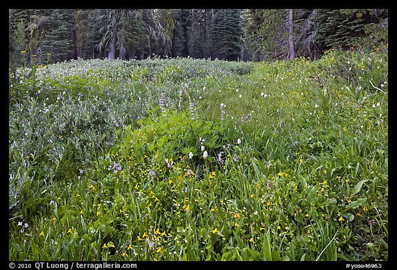 Summit Meadow with summer flowers. Yosemite National Park (color)