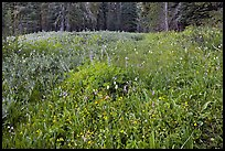 Summit Meadow with summer flowers. Yosemite National Park ( color)