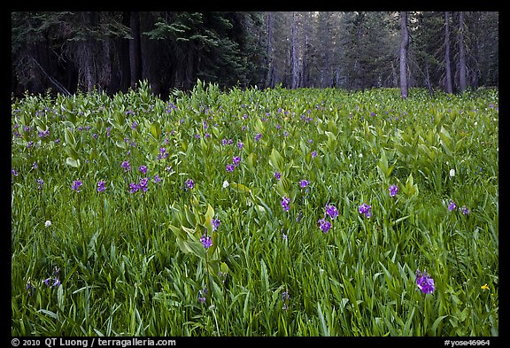 Flowers and forest edge, Summit Meadows. Yosemite National Park (color)