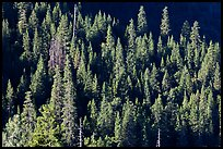 Pine trees on slope, Wawona. Yosemite National Park ( color)