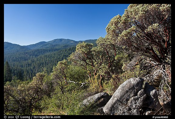 Manzanita tree on outcrop and forested hills, Wawona. Yosemite National Park, California, USA.