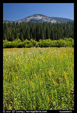 Wawona meadow, wildflowers, and Wawona Dome. Yosemite National Park (color)