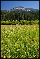 Wawona meadow, wildflowers, and Wawona Dome. Yosemite National Park, California, USA. (color)