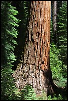 Base of Giant Sequoia tree in Mariposa Grove. Yosemite National Park, California, USA.
