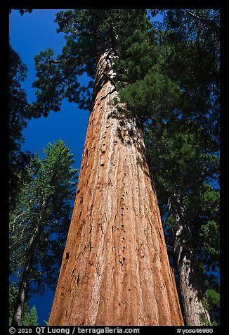 Looking up from base of Giant Sequoia tree, Mariposa Grove. Yosemite National Park (color)