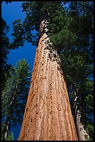 Looking up from base of Giant Sequoia tree, Mariposa Grove. Yosemite National Park, California, USA. (color)