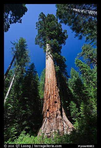 Giant Sequoia trees in summer, Mariposa Grove. Yosemite National Park (color)
