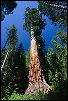 Giant Sequoia trees in summer, Mariposa Grove. Yosemite National Park, California, USA.