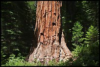 Base of Giant Sequoia tree (Sequoiadendron giganteum) Mariposa Grove. Yosemite National Park ( color)