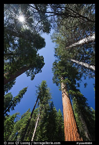 Looking up Giant Sequoia forest. Yosemite National Park (color)