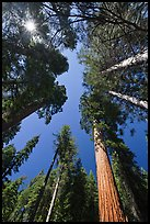 Looking up Giant Sequoia forest. Yosemite National Park, California, USA.