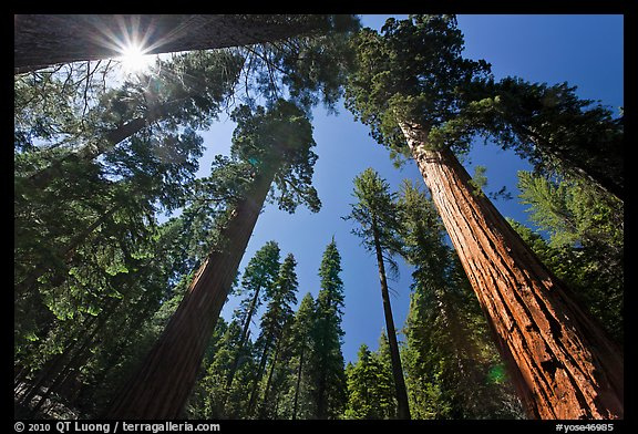 Sun and forest of Giant Sequoia trees. Yosemite National Park (color)