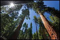 Sun and forest of Giant Sequoia trees. Yosemite National Park, California, USA.
