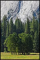 Aspen cluster and Glacier Point Apron, summer. Yosemite National Park, California, USA. (color)