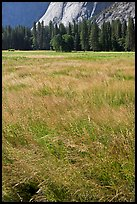 Summer grasses, Ahwanhee Meadow. Yosemite National Park, California, USA. (color)