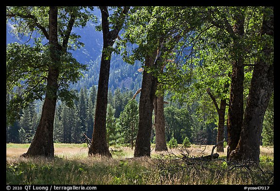 Black Oak Trees, El Capitan Meadow, summer. Yosemite National Park (color)