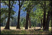 Black Oak Trees, El Capitan Meadow, summer. Yosemite National Park ( color)