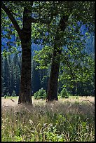 Black Oaks, El Capitan Meadow, summer. Yosemite National Park, California, USA. (color)