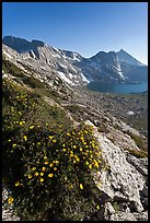 Wildflowers on slope, Sheep Peak and Upper McCabe Lake. Yosemite National Park, California, USA. (color)
