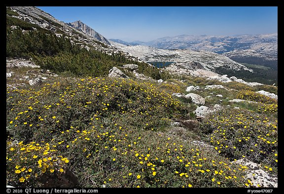 Summer alpine Wildflowers, McCabe Pass. Yosemite National Park (color)