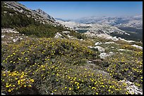 Summer alpine Wildflowers, McCabe Pass. Yosemite National Park, California, USA. (color)