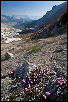 Alpine flowers on pass above Roosevelt Lake. Yosemite National Park, California, USA. (color)