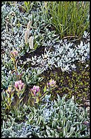 Close-up of alpine flowers. Yosemite National Park ( color)