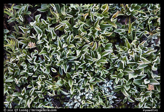 Close-up of alpine leaves. Yosemite National Park (color)