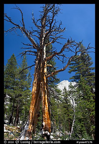 Standing pine skeleton. Yosemite National Park (color)
