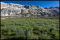 Lupine and Upper Young Lake. Yosemite National Park ( color)