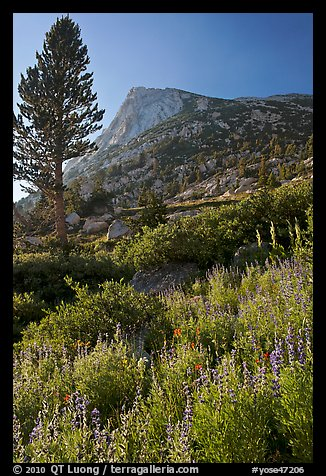 Backlit wildflowers, pine tree, and peak. Yosemite National Park, California, USA.