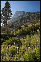 Backlit wildflowers, pine tree, and peak. Yosemite National Park, California, USA. (color)
