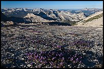 Alpine flowers and view over distant peaks, Mount Conness. Yosemite National Park, California, USA. (color)