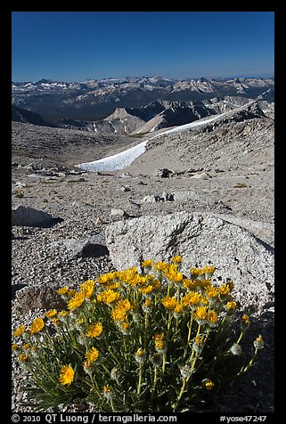 Yellow flowers and mountains, Mount Conness. Yosemite National Park (color)