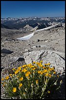 Yellow flowers and mountains, Mount Conness. Yosemite National Park, California, USA. (color)