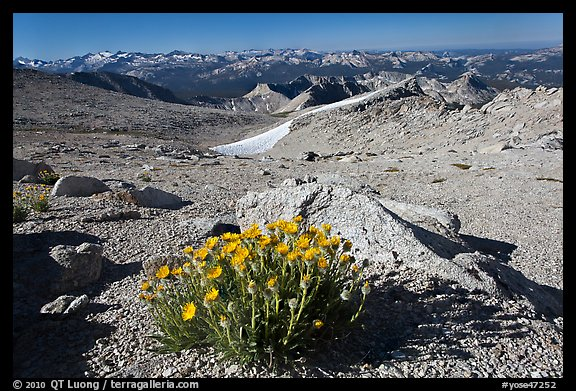Yellow flowers above timberline, Mount Conness. Yosemite National Park (color)