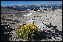 Yellow flowers above timberline, Mount Conness. Yosemite National Park, California, USA. (color)