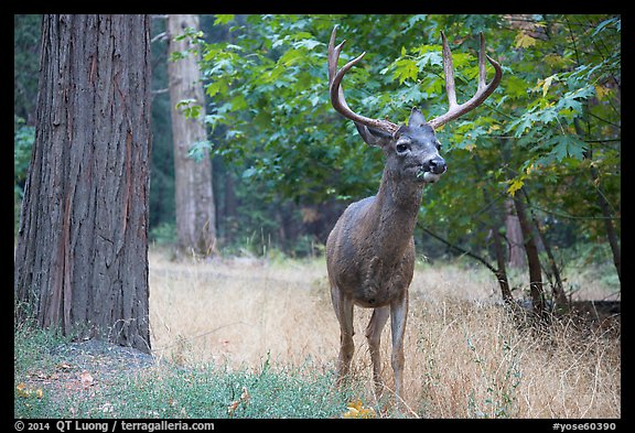Deer with antlers. Yosemite National Park (color)