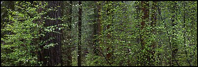 Forest with dogwood and flowers. Yosemite National Park (Panoramic color)