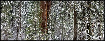 Tuolumne Grove in winter, mixed forest with snow. Yosemite National Park (Panoramic color)