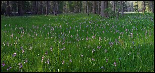 Meadow with wildflower carpet, Yosemite Creek. Yosemite National Park (Panoramic color)