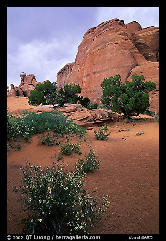 Wildflowers, sand and rocks, Klondike Bluffs. Arches National Park (color)