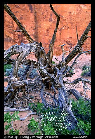 Wildflowers, Twisted tree, and sandstone wall, Devil's Garden. Arches National Park (color)
