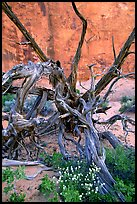 Wildflowers, Twisted tree, and sandstone wall, Devil's Garden. Arches National Park, Utah, USA. (color)