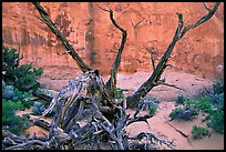 Wildflowers, Twisted tree, and sandstone wall, Devil's Garden. Arches National Park, Utah, USA.