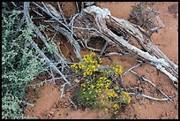 Ground close-up with wildflowers, roots, and rain marks in sand. Arches National Park ( color)
