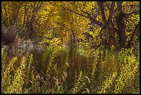Riparian environment in autumn, Courthouse Wash. Arches National Park ( color)